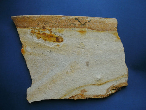 Large example of Fossil fish Lycoptera sp. from China