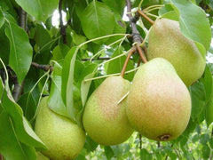 PEARS - European and Asian