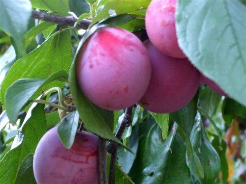 PLUM - RED STAR