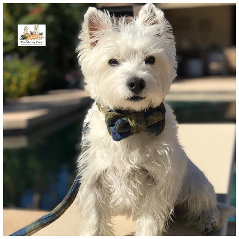 westie wearing harris tweed dog collar and bowtie