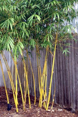 Asian Lemon Medium Sized Clumping Bamboo