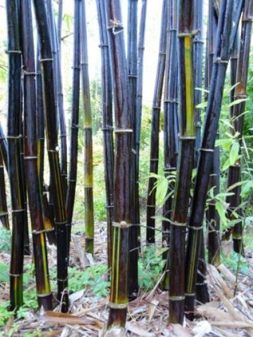 Picture of Timor Black Clumping Bamboo- Bambusa Lako Black Bamboo