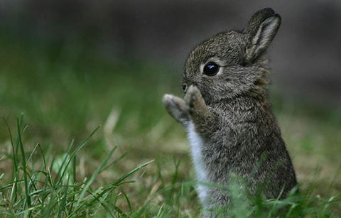 TT Baby Cottontail