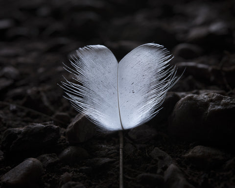 Breast feather, On Albatross Island 2014 by Matthew Newton
