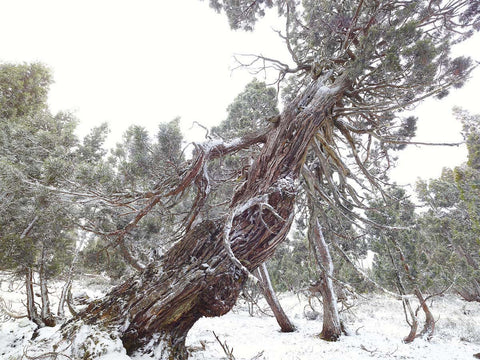 Pencil Pine, Winter by Rob Blakers