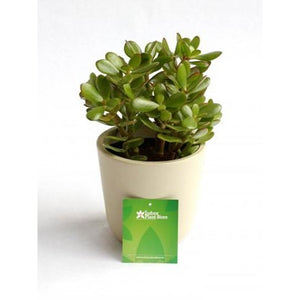 Crassula Ovata Major - Plant Store