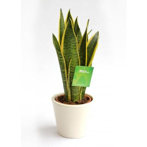 Sanseveria 70cm height - Plant Store