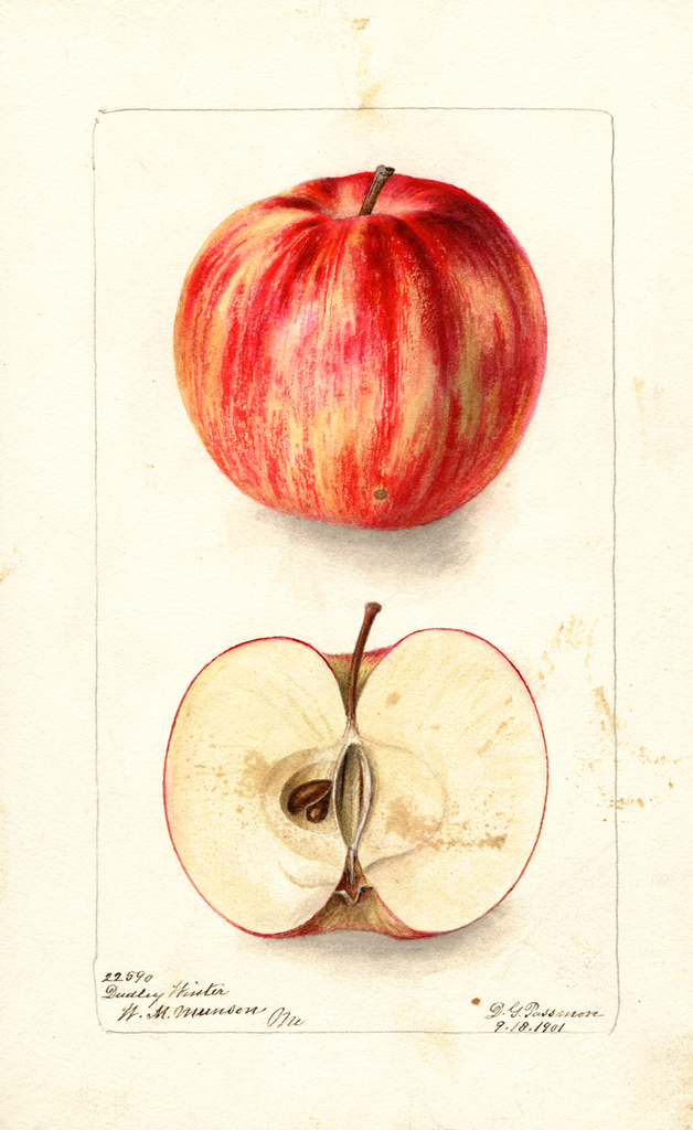 Apples, Dudley Winter (1901)