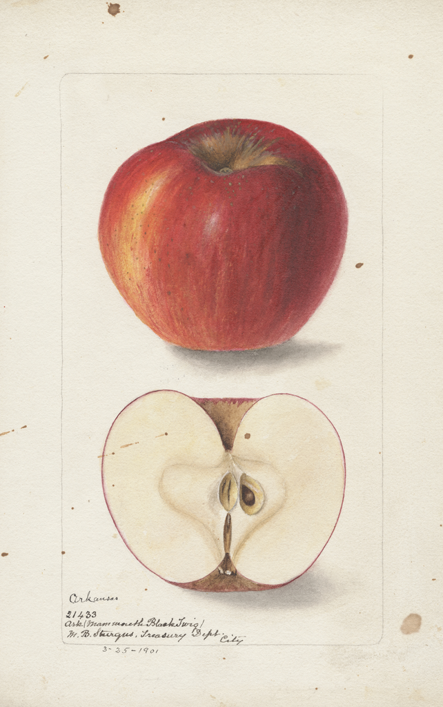 Apples, Arkansas (1901)
