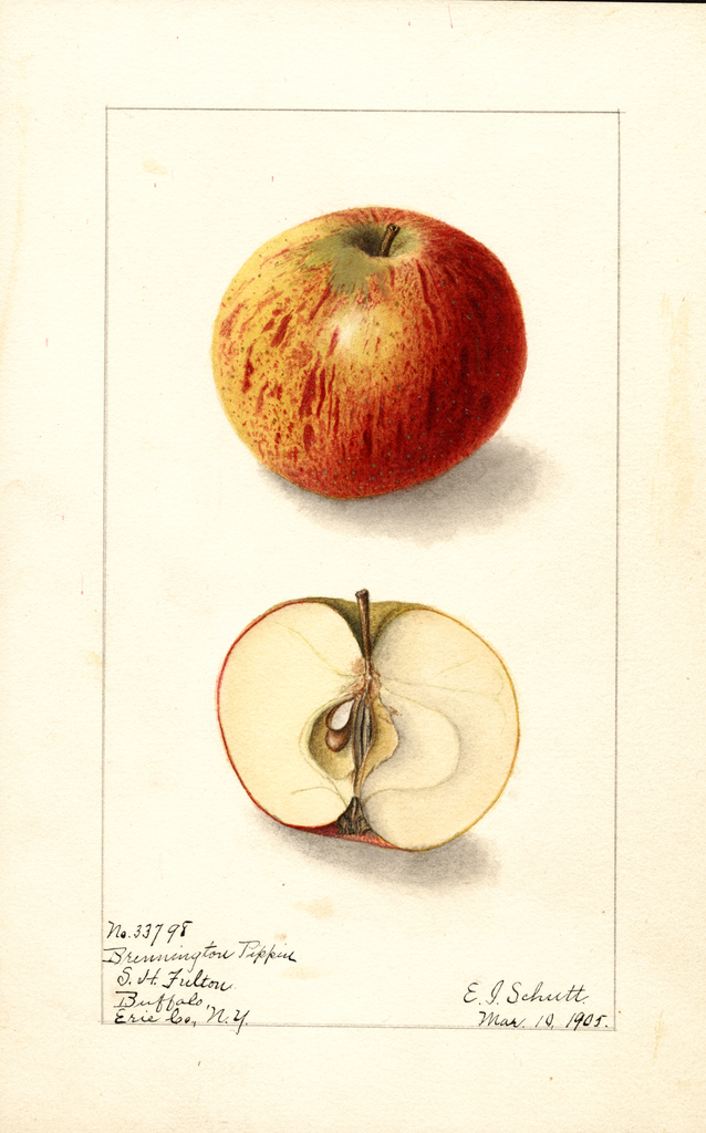 Apples, Brewington Pippin (1905)