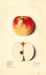 Apples, Linfield (1914)
