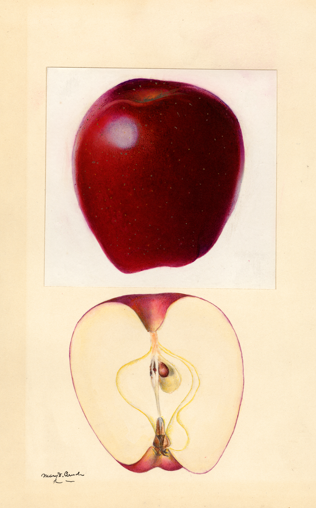 Apples, Red Delicious (1932)