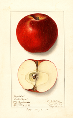 Apples, Forts Prize (1910)