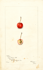 Cherries, Roslyn (1902)