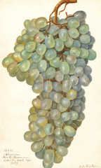 Grapes, Almeria (1911)