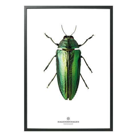 Hagedornhagen Beetle Art Print -  'New Collection B9'