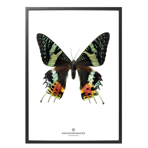 Hagedornhagen Butterfly Art Print -  'New Collection S14'