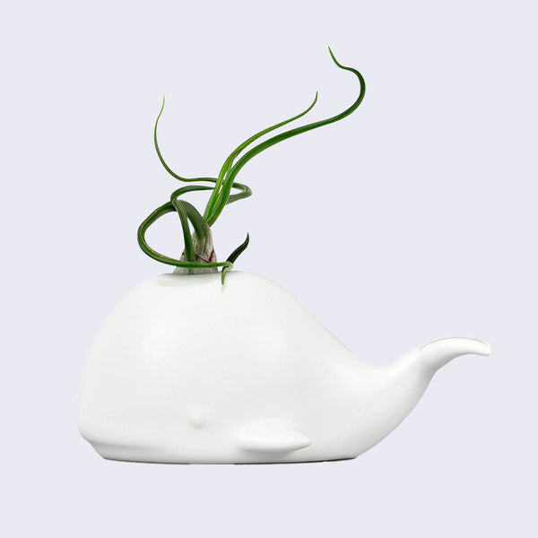 Fancy Plants -  Whale Air Plant Holder