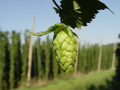 Hops - Ahtanum (USA)