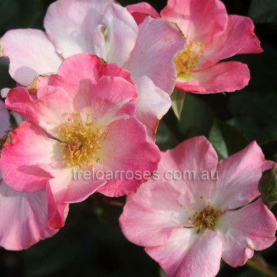 Rose Old Fashioned Sparrieshoop WINTER DELIVERY
