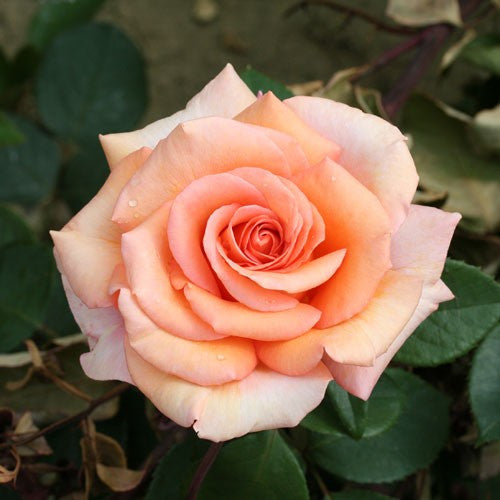 Rose HT Warm Wishes