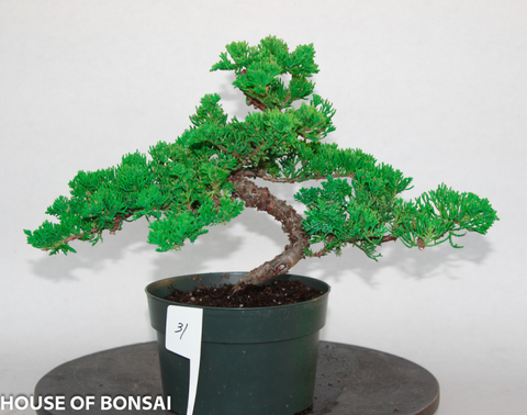 Procumbens Nana Juniper Bonsai Pre-Bonsai Tree