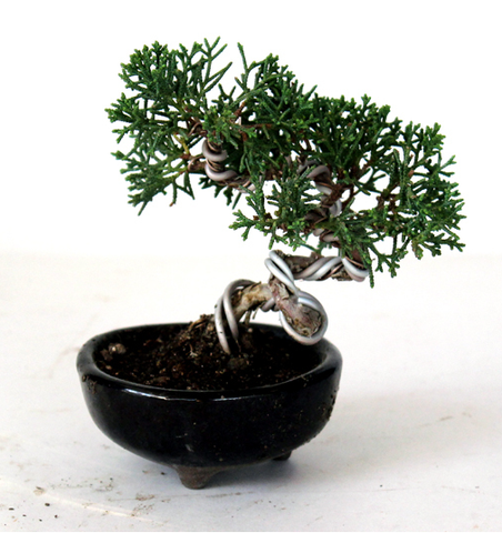 Shimpaku 'Kishu' Juniper Shohin Bonsai Tree