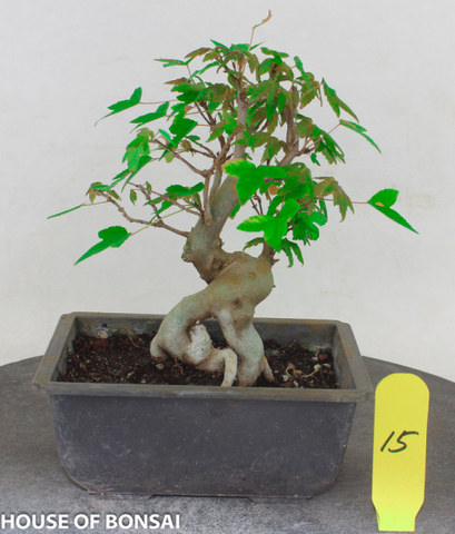 Trident Maple with Exposed Root Style Shohin Bonsai Tree (Dormant)