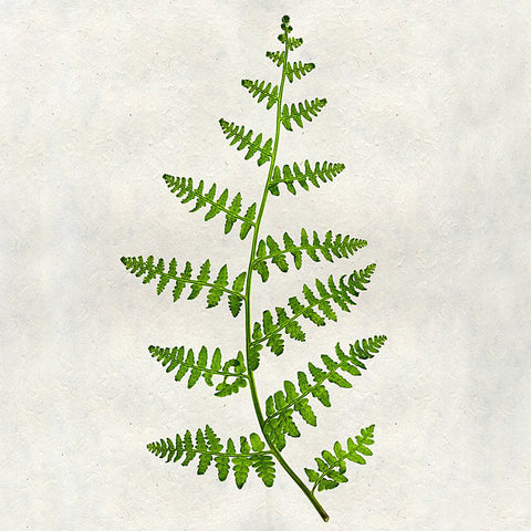 Cream Fern Print on Handmade Paper