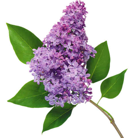 Fragrance naturelle LILAS