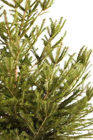 Real Norway Spruce Christmas tree hire