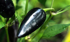 Black Hungarian Pepper