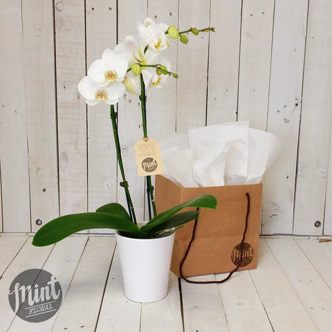 White Tropical Orchid Plant