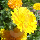 Calendula Art Shades Mixed Cut Flower Seeds