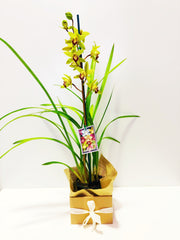 BP 01 - Cymbium Orchid flowering