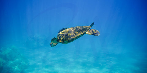 Heavenly Honu - 2:1 Panorama