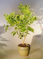 "Blood Orange Bonsai Tree Indoor Flowering & Fruiting 10 yrs old 21"" tall"