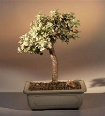 "Baby Jade Medium Bonsai Tree - Variegated - Indoor Bonsai 5 years old - 5"" tall"