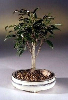 "Ficus Midnight Bonsai Tree benjamina 'midnight' Indoor Bonsai 5 yr 9""-11"" T"