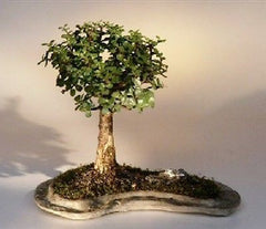 "Baby Jade on Rock Slab Bonsai Tree 8 yr 13 -16"" T on 15""x9""x1"" Rock Slab Indoor"