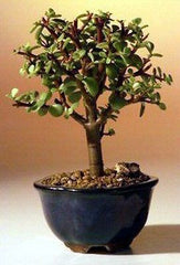 "Baby Jade Bonsai Tree Portulacaria Afra Small Indoor Bonsai 4 yrs 6"" tall"