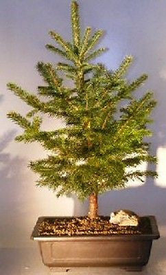 Colorado Blue Spruce Bonsai Tree