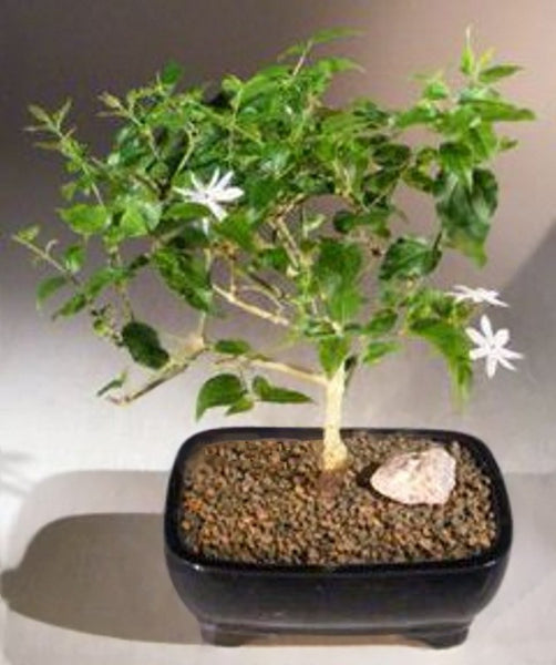 "Indian Downy Jasmine Bonsai Tree Flowering Indoor 8 yr 10 -12"" T jasminum 'multiflorum'"