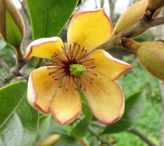 Banana Shrub ( Michelia figo )