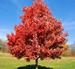Brandywine Red Maple Tree