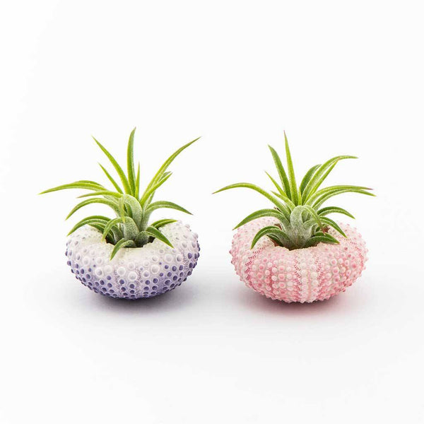 Gifts - Sea Urchin Planter