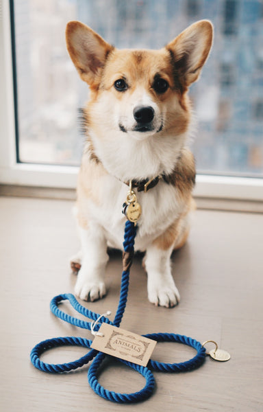 Welsh corgi with admiral blue rope dog leash with brass hardware by a window