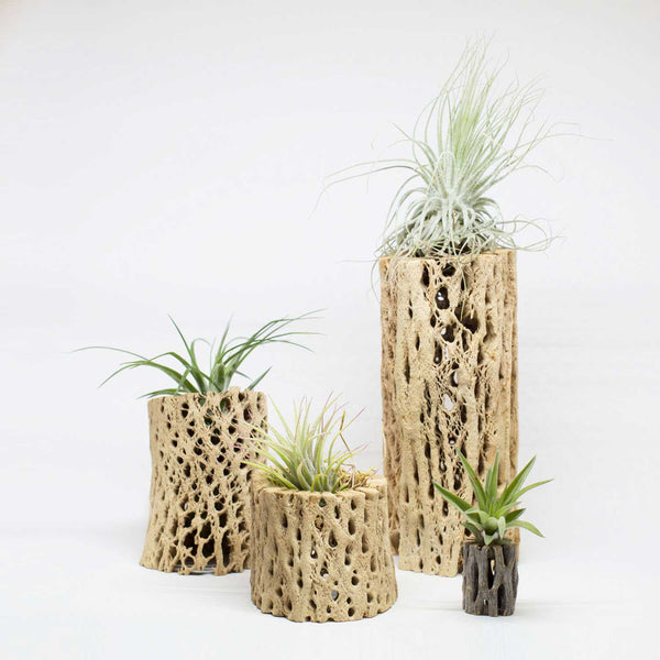 Cholla Wood and Air Plant Display