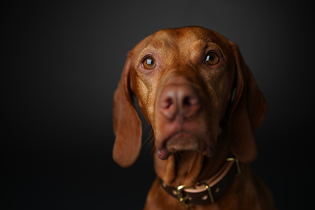 Image of brown dog taken with Sony animal Eye AF