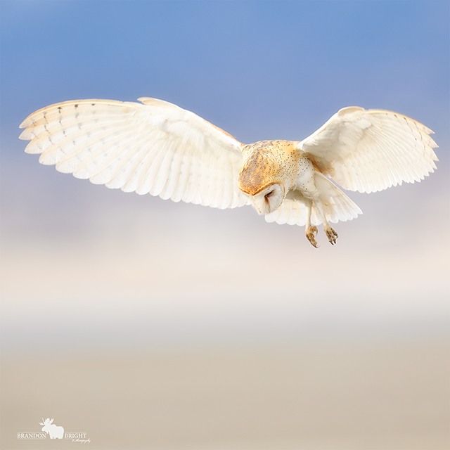 white owl mid flight by Brandon Bright